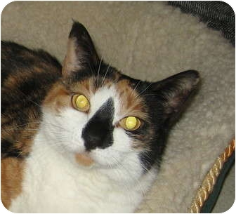Calico Cat for adoption in Hamilton, New Jersey - SOPHIE