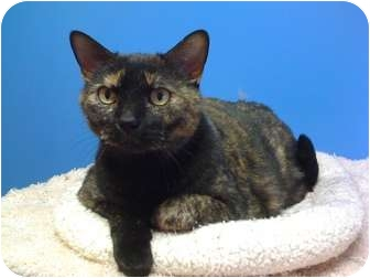 Domestic Shorthair Cat for adoption in Topeka, Kansas - Sweetpea