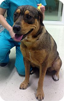 Rottweiler Mix Dog for adoption in Windham, New Hampshire - Patience adoption fee $200