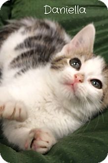 Domestic Mediumhair Kitten for adoption in Baton Rouge, Louisiana - Daniella