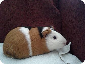 Guinea Pig for adoption in San Antonio, Texas - Alpha