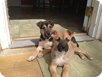 German Shepherd Dog/Hound (Unknown Type) Mix Dog for adoption in Harmony, Glocester, Rhode Island - Sox