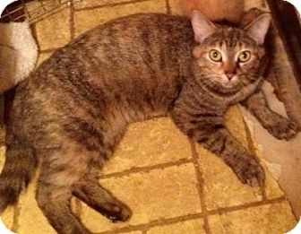 American Shorthair Cat for adoption in Sharon Center, Ohio - Cas