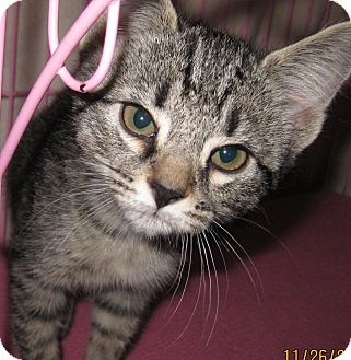 Domestic Shorthair Kitten for adoption in Randolph, New Jersey - Spot - cute and sweet!