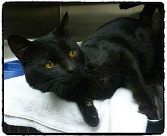 Domestic Shorthair Cat for adoption in Marietta, Georgia - FEEL-X