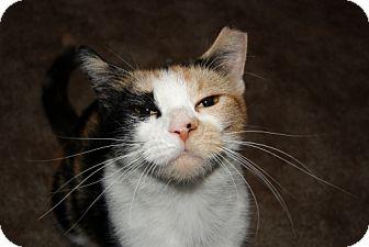 Calico Cat for adoption in Parkville, Missouri - Kali