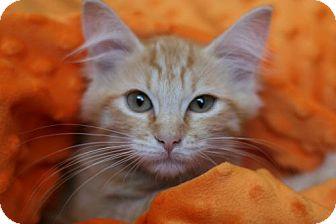 Domestic Shorthair Kitten for adoption in Studio City, California - Orange is New Black ~ PIPER
