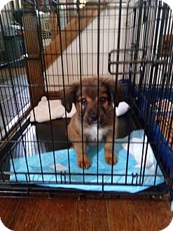 Shepherd (Unknown Type)/Husky Mix Dog for adoption in Clarkston, Michigan - Feris