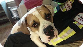 American Bulldog Dog for adoption in Caledon, Ontario - Tyson