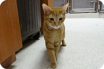 Domestic Shorthair Cat for adoption in Elyria, Ohio - Raja