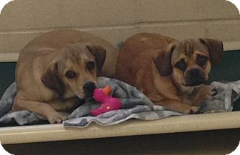 Pug/Beagle Mix Puppy for adoption in Greensburg, Pennsylvania - Timmy
