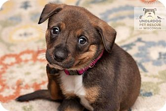 Australian Cattle Dog Puppy for adoption in Madison, Wisconsin - Xena