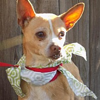 Chihuahua Dog for adoption in Apple Valley, California - Manley