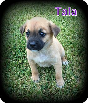 Retriever (Unknown Type) Mix Puppy for adoption in Denver, North Carolina - Tala