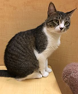 Domestic Shorthair Cat for adoption in Houston, Texas - Princess
