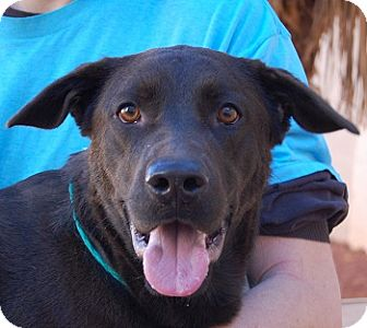 Labrador Retriever Mix Dog for adoption in Las Vegas, Nevada - Cooper