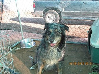 Australian Shepherd Mix Dog for adoption in Anton, Texas - Ruffles