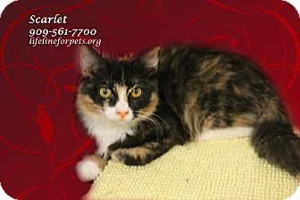 Calico Kitten for adoption in Monrovia, California - A Sister Pair: SCARLET & Tara