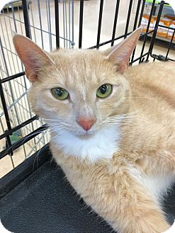 Domestic Shorthair Cat for adoption in Smithtown, New York - Simba