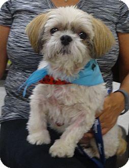 Shih Tzu Dog for adoption in Eden Prairie, Minnesota - BUDDYpending
