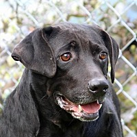 Adopt A Pet :: Shadow - Asheville, NC