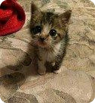 Domestic Shorthair Kitten for adoption in Hampton, Virginia - AVA