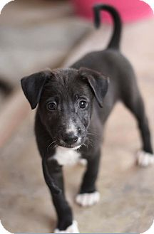 Retriever (Unknown Type)/Whippet Mix Puppy for adoption in WADSWORTH, Illinois - KARL