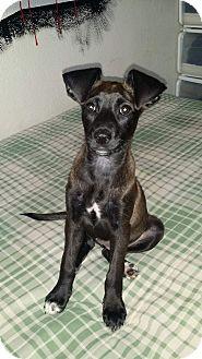 Labrador Retriever/Retriever (Unknown Type) Mix Puppy for adoption in LAKEWOOD, California - Bontia