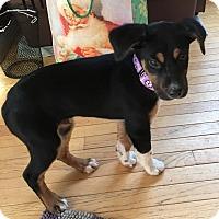 Adopt A Pet :: Baron - Fredericksburg, VA