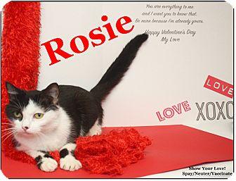 Domestic Shorthair Cat for adoption in Cuba, Missouri - Rosie