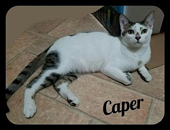 Domestic Shorthair Kitten for adoption in Orlando, Florida - Caper (GP) 4.30.16