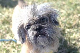 Shih Tzu Mix Dog for adoption in DeSoto, Iowa - Oscar 17 (Bonded with Mayer 15)