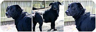 Labrador Retriever/Basset Hound Mix Dog for adoption in Forked River, New Jersey - Dozer