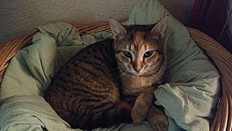Domestic Shorthair Cat for adoption in Tampa, Florida - Emily Bronte