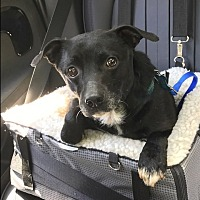 Terrier (Unknown Type, Small)/Basenji Mix Dog for adoption in Burlington, Vermont - Diesel (25 lb) GREAT Companion