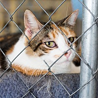 Calico Cat for adoption in Fallbrook, California - Daisy