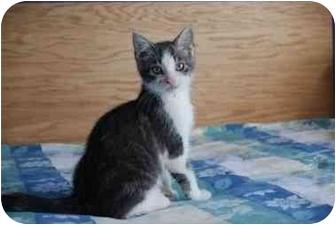 American Shorthair Kitten for adoption in Baltimore, Maryland - Anubis