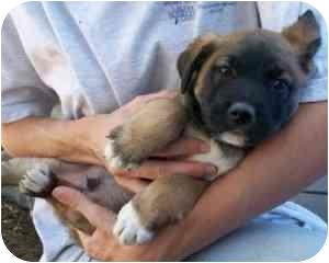 German Shepherd Dog/Shepherd (Unknown Type) Mix Puppy for adoption in Franklin, Virginia - Scooby