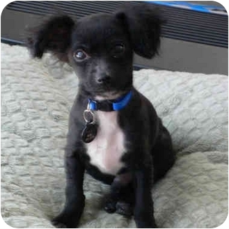 Chihuahua/Papillon Mix Puppy for adoption in Van Nuys, California - Tiny Oliver
