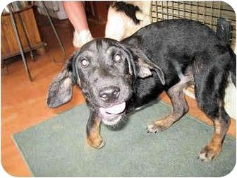 Hound (Unknown Type)/Labrador Retriever Mix Puppy for adoption in Mahwah, New Jersey - Velvet