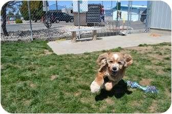 Cocker Spaniel Mix Dog for adoption in Meridian, Idaho - Kingston