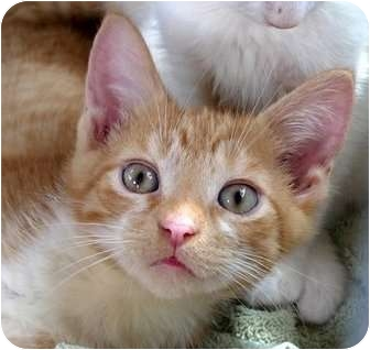 Domestic Shorthair Kitten for adoption in Troy, Michigan - Spats