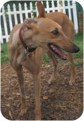 Greyhound Dog for adoption in Canadensis, Pennsylvania - Greta