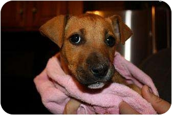 Boxer/American Pit Bull Terrier Mix Puppy for adoption in Reisterstown, Maryland - Pluto