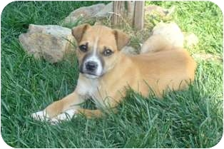 Jack Russell Terrier Mix Puppy for adoption in Tustin, California - Troy