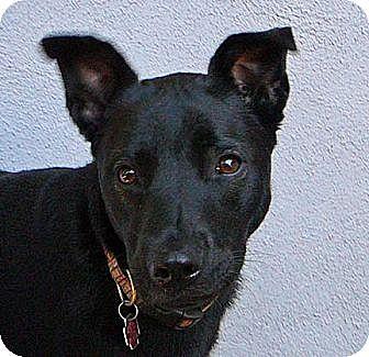 German Shepherd Dog/Rottweiler Mix Dog for adoption in Los Angeles, California - Cricket
