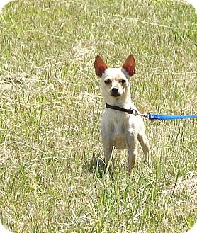Chihuahua Mix Dog for adoption in South Haven, Michigan - Honey