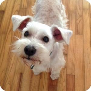 Schnauzer (Miniature) Dog for adoption in Redondo Beach, California - Neil