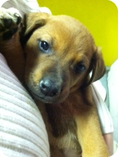 Hound (Unknown Type) Mix Puppy for adoption in Waldorf, Maryland - Cal