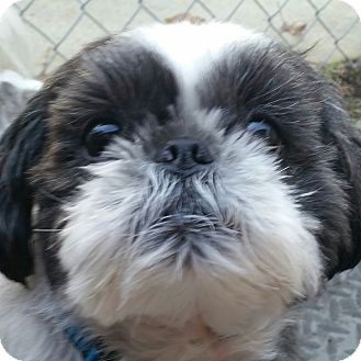 Shih Tzu Dog for adoption in Worcester, Massachusetts - Caesar and Rocky - Bonded Pair